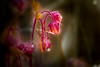 Geum (matthiasstiefel) Tags: macro rain drop bach makro regen tropfen wateravens kapuziner nelkenwurz geumrivale purpleavens blutströpfchen bachbenedikt herzwurz wasserbenedikt wasserwurz rosengewächs nikon105mmf2 herrgott´sbrot