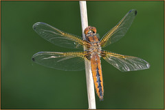 Scarce Chaser Dragonfly (image 1 of 2) (Full Moon Images) Tags: macro nature insect dragonfly wildlife bcn reserve national trust fen cambridgeshire chaser scarce woodwalton nnr greatfen