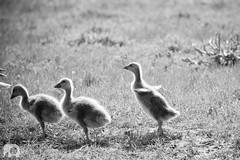 Learn To Fly (J. Verspeek) Tags: blackandwhite elephant bird nature netherlands monochrome birds animal fauna canon photography rotterdam flora belgium zoom outdoor young hobby goose passion tele biology anser watermark biesbosch greylag