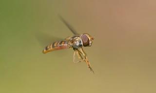 Hoverfly In Flight