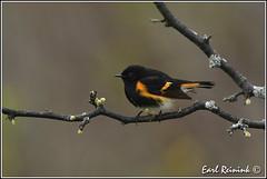 American Redstart (Earl Reinink) Tags: ontario bird spring nikon niagara earl redstart birdphotography nikond5 wabler earlreinink reinink naturephotographyamerican zoadoaodra