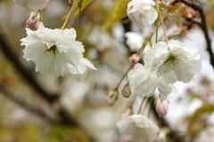 *** (pszcz9) Tags: flower tree nature spring bokeh sony poland polska botanicgarden a77 wiosna przyroda kwiat drzewo beautifulearth ogrdbotaniczny