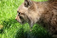 Duisburg Zoo (Eichental) Tags: zoo tiere duisburg ruhrgebiet luchs