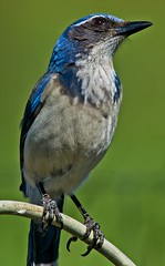 Looking For Signs of Rain (autumnhillswoollens685) Tags: birds jay bluejay scrubjay 600mmf56ais d800fx avianspecies