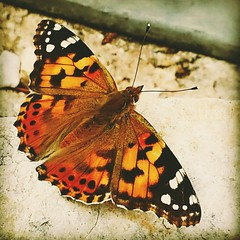 Beautiful painted lady butterfly (Rach and her camera) Tags: orange black nature butterfly insect pretty paintedlady naturelovers godscreatures