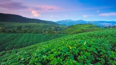 moonset over tea (chocoorange) Tags: morning moon indonesia tea hills plantation purwokerto moonset kaligua