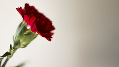 (vennawednesday) Tags: red plant flower colour beautiful digital 35mm nikon raw indoor depthoffield petal bloom carnation minimalism minimalistic shallowdof nikond3200 flowerphotography