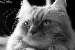 Cat's Portrait (Luca Bobbiesi) Tags: cat portrait gatto kira canoneos7d canonefs60mmf28macrousm