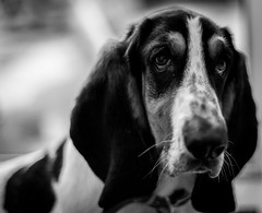 Portrait (davidjhumphries) Tags: portrait dog pet white playing black cute canon puppy 50mm mutt f14 hound droopy ears whiskers basset 5d collar mkii