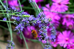il volo d'ape / the bee flight (IVAN 63) Tags: flowers flower nature garden insect flora lavender bee ape fiori bumble giardino