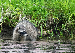 Foraging (Gary Grossman (out taking pictures)) Tags: river spring wildlife bank shore pacificnorthwest raccoon bandit nationalwildliferefuge ridgefield foraging wildlifephotography garygrossmanphotography shotsofawe