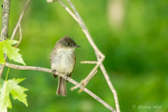 Eastern phoebe - Glenhurst Meadows, NJ (yinongjiang) Tags: us newjersey unitedstates warren
