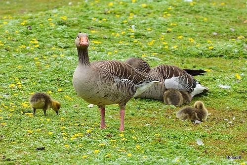 Greylag Geese - WWT Slimbridge 27-05-2016 10-34-59