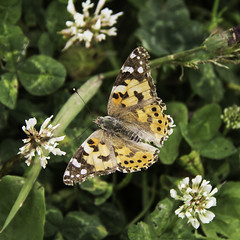 Another Painted Lady (me'nthedogs) Tags: butterfly somerset ham paintedlady