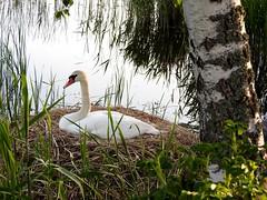 Swan nesting (KaarinaT) Tags: sea water grass finland swan helsinki nest birch nesting birchtree roihuvuori swansnest swan