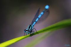 dragonfly2 (gshaun12) Tags: macro nature animals bug dragonfly bokeh wildlife insects fantasticnature macrodreams