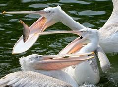 Catch-As-Catch PeliCan (Ger Bosma) Tags: fish pelicans birds bill fishing funny group pelican catching pelecanuscrispus kroeskoppelikaan dalmatianpelican krauskopfpelikan plicanfris pelcanoceudo  pellicanocrespo pellicanodalmatico 2mg128660