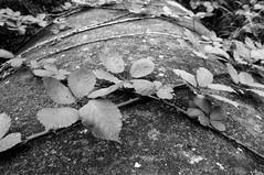 Crossing thorns (Tiefengeist) Tags: 400 hp5 24mm rodinal nikonfe ilford 1100 oneshot agfarodinal ilfordhp5400 r09 af24mmf18dg rodinalr09oneshot1100