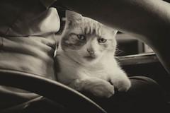Sunday slouchers (cuppyuppycake) Tags: pet white black animal cat office chair nikon indoor lap lazy herbie d7200
