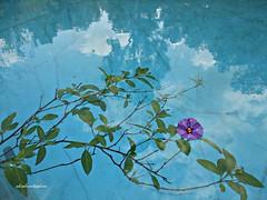 Reflejos en el agua  016 (adioslunitaadios) Tags: flores agua fujifilm reflejos lilas trasluces