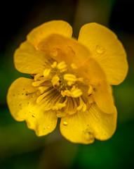 yellow flower (markgrainger) Tags: summer england plant colour macro green grass yellow garden spring buttercup wildlife daisy fields raindrop beautifull flowersplants