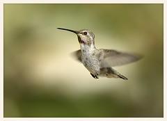 In the Spotlight (gauchocat) Tags: hummingbird tucsonarizona tucsonmountains