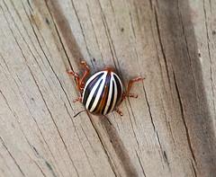 False Potato Beetle Backside (DarkOnus) Tags: macro beautiful closeup bug insect phone pennsylvania butt beetle cell potato backside 2d thursday buckscounty false huawei leptinotarsa bbbt juncta mate8 beautifulbugbuttthursday hbbbt darkonus