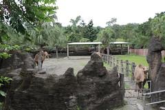 Bactrian Camel (watson88) Tags: zoo taipei bactriancamel taipeizoo