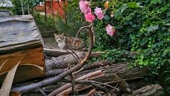 Cat and roses (umitremziergun) Tags: wood pink flowers cats flower rose cat garden g4 lg beat gül kedi çiçek çiçekler ahşap pembe kediler