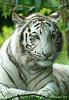 Witte tijger (ditmaliepaard) Tags: sony ngc npc overloon wittetijger bengaalsetijger zooparcoverloon a6000