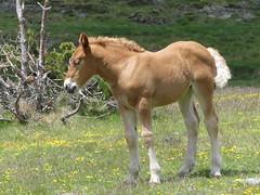P1000240 (Franois Magne) Tags: cheval libert poulain jument blond blonde bai frange montagne etang lanoux estany de lanos lac pyrnes