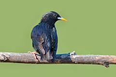 Estorninho Preto - Spotless Starling - Sturnus unicolor (Yako36) Tags: bird portugal nature wildlife natureza birdwatching alcochete nikonafs300f4 nikond7000