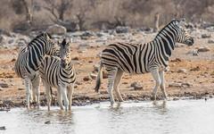 PGC_4350-20150923 (C&P_Pics) Tags: na namibia burchellszebra etoshanationalpark oshikoto namutonicamptohalalicamp