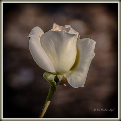 Rosa ... Diana, Princess of Wales (idunbarreid) Tags: rose doublefantasy