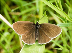 Ringlet Male-1 (Silver Leaper) Tags: elements