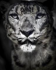 Snow Queen (Paul E.M.) Tags: asian feline shan snowleopard ounce panthera sdzoo uncia barys zigsa ilbirs