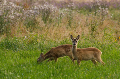 Rehkitze (Der Gnurz) Tags: animal wildlife deer fawn roe roedeer reh tier capreoluscapreolus nikond5100