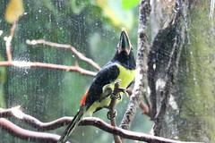 Green Aracari (psychostretch) Tags: bird animal zoo toucan woodlandparkzoo greenaracari pteroglossusviridis aracari
