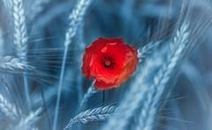 Poppy (Delbrckerin) Tags: poppy mohnblume blumen flowers natur nature nikond90 tamron90mm pflanzen