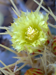 Ferocactus flower (teknoec) Tags: cactus flower macro closeup dof bokeh botanicgarden szeged ferocactus glaucescens