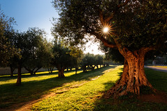 Olive tree (Martin Zurek) Tags: light italy sun tree green sunshine sunrise landscape ray olive umbria canon5dsr 5dsr