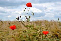 Trilogie (FleurdeLotus28) Tags: red sky storm france flower nature fleur field landscape rouge nikon ciel beaut poppy land paysage campagne orage champ coquelicot bl eureetloir simplicit rgioncentre