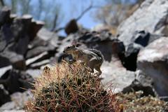 Harris Ground squirrel Piestewa Peak Park AZ (artistwhite) Tags: arizona cactus mountain phoenix squirrel hiking trail harris overlooking