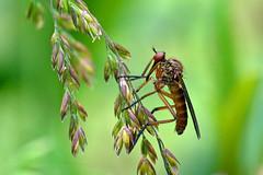 Empis stercorea ?? (AndyorDij) Tags: dolichopuspopularis insects insect empingham england rutland uk unitedkingdom 2016 leaves bokeh plants gardens pond