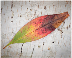 A Beautiful Death (e.b. image) Tags: red color green nature beauty yellow death leaf bark heavenlybamboo sonya99