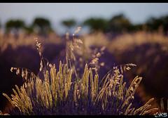 Provenal Scents (Karim SAARI - Photography) Tags: flowers summer france flower canon landscape photography landscapes photo marseille lavender 5d provence lavande sud lavanda  lavendel alpesdehauteprovence lavandes canonphotography lavanta 500px ifttt