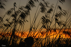 HAPPY SUNSET (Tomas Mauri) Tags: orange plants contraluz landscape spain plantas heaven catalonia nubes catalunya catalua backlighting openair toms redclouds nubesrojas sonyalfa comarcadelbages happysunset tobecomenight atardecerenmanresa