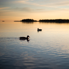 Ducks in sunset (- David Olsson -) Tags: sunset oktober lake seascape nature water birds animals square landscape 50mm nikon october sundown sweden outdoor ducks 11 karlstad handheld ankor ripples f18 50 vnern d800 wideopen vrmland kvadrat 2015 skutberget