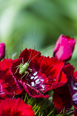 Larve de sauterelle (mhyrdin) Tags: macro bonnette closeuplens grasshoper sauterelle