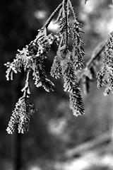 I21 (Lisa Peggy) Tags: schwarzweis blackwhite schnee snow ice eis baum tree plant vereist iced tanne